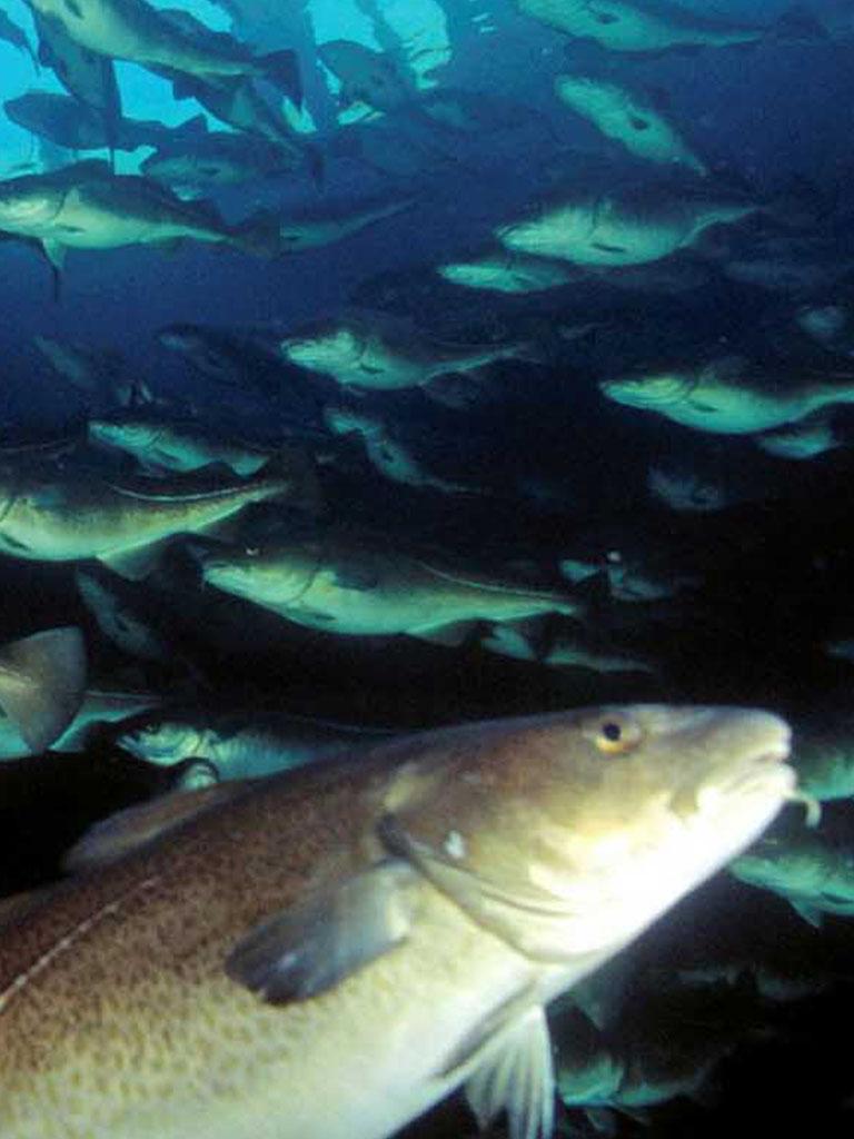 Norcod cod