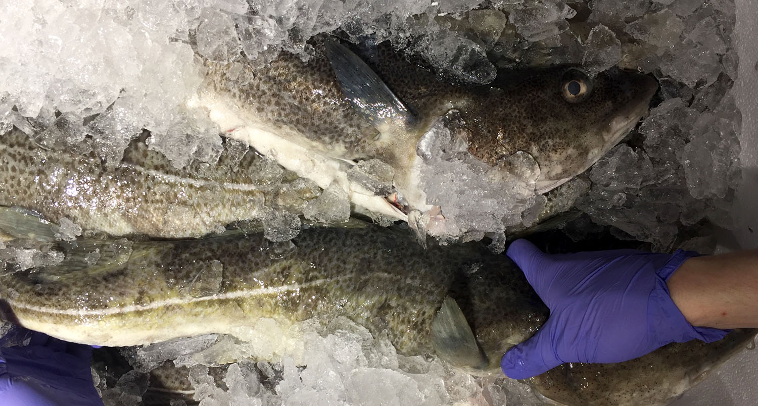 Norcod cod in ice with hand holding the fish