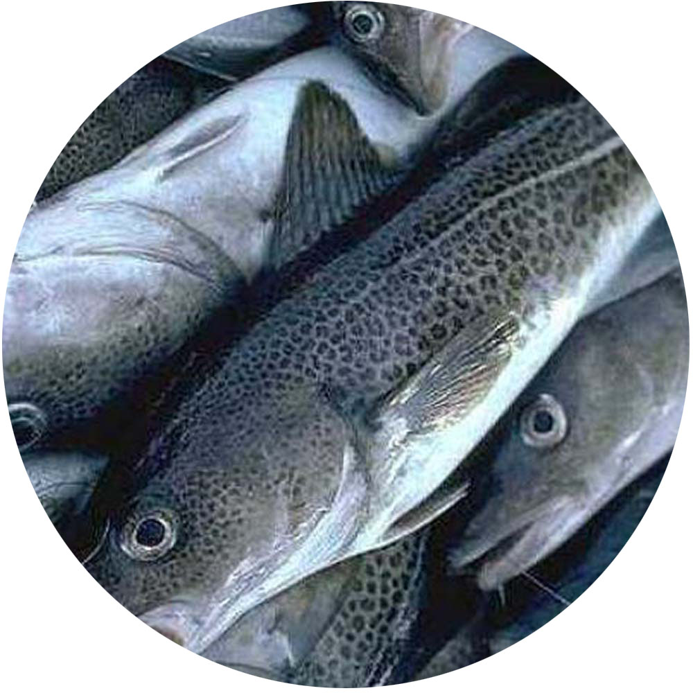 Norcod, farmed cod